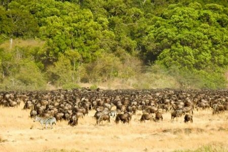 A huge herd builds up close to the crossing site
