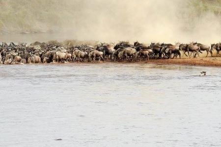 Wildebeest migration cross the Mara River