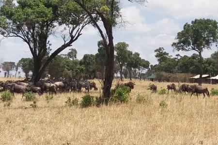 Lots of wildebeest and zebra around Lemala Mara