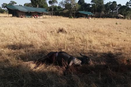 Wildebeest carcass in front of tent number three at Lemala Kuria Hills