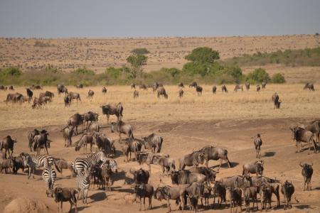 Wildebeest in the Mara Triangle