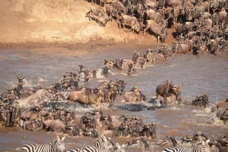 Mega crossings at the Mara River