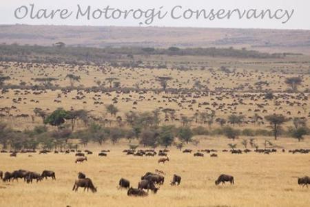 The herds in the Olare Motorogi Conservancy