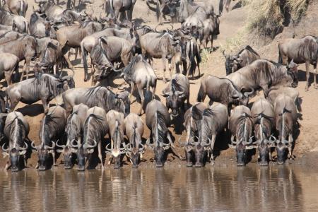 Wildebeest cross the Mara River