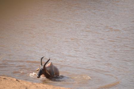 Nile crocodile takes down a Topi
