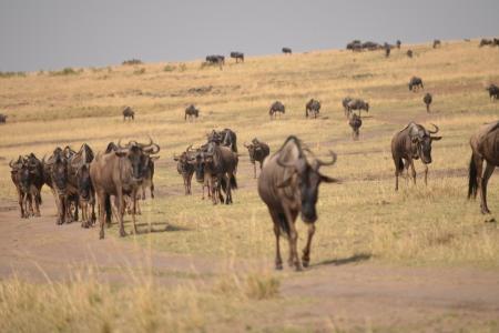 Big herds in the Olare Orok Conservancy