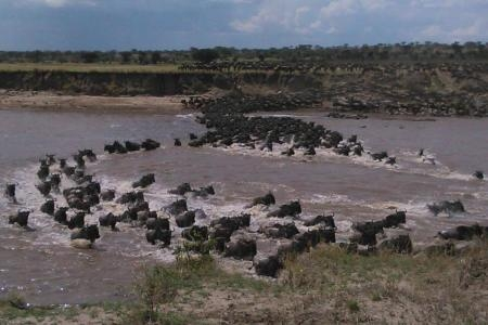 The herds crossed at the Makutano crossing point
