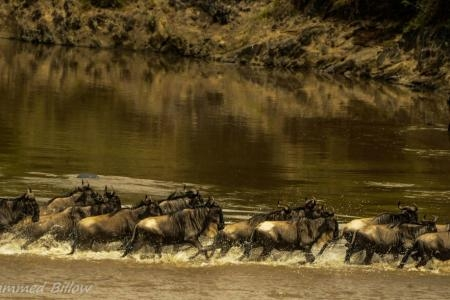 Wildebeest migration crossing the Mara River at Lookout Hill