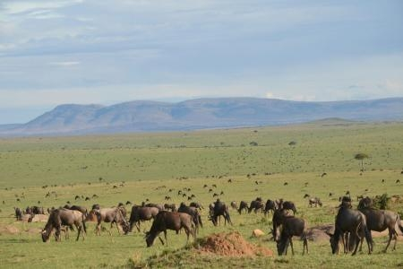Look Out Hill filled with wildebeest