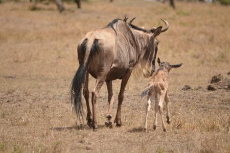 Calving season has started in the Mara North