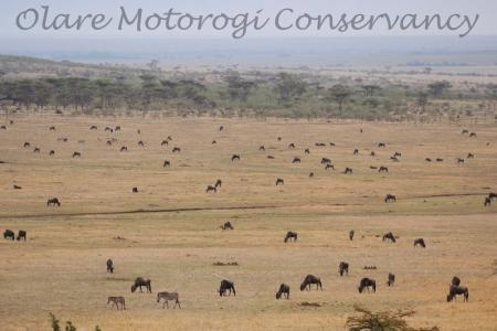 The Loita herds in the Olare Motorogi Conservancy