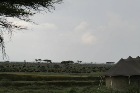 Hundreds of wildebeest near Namiri Plains