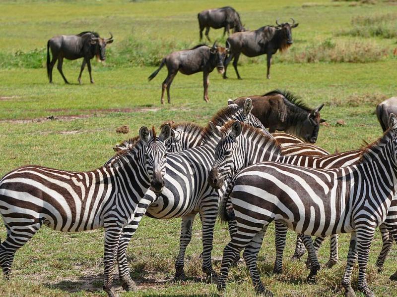 herdtracker wildebeest migration safari updates discover africa