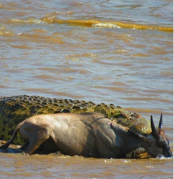 HerdTracker - Wildebeest Migration Safari Updates | Discover