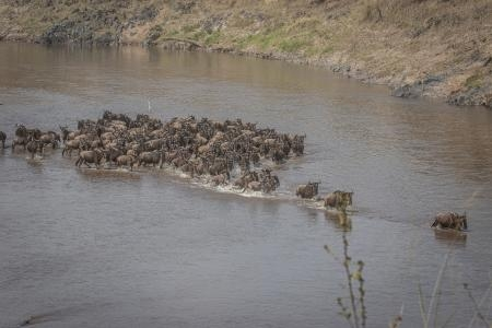 Mara River Crossings |  Governors Camp Collection